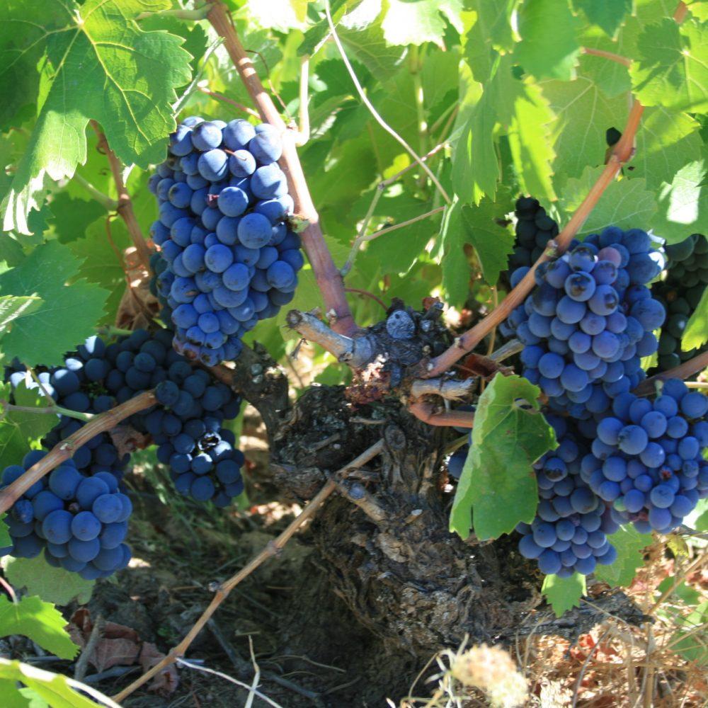 El Jejo(viña)